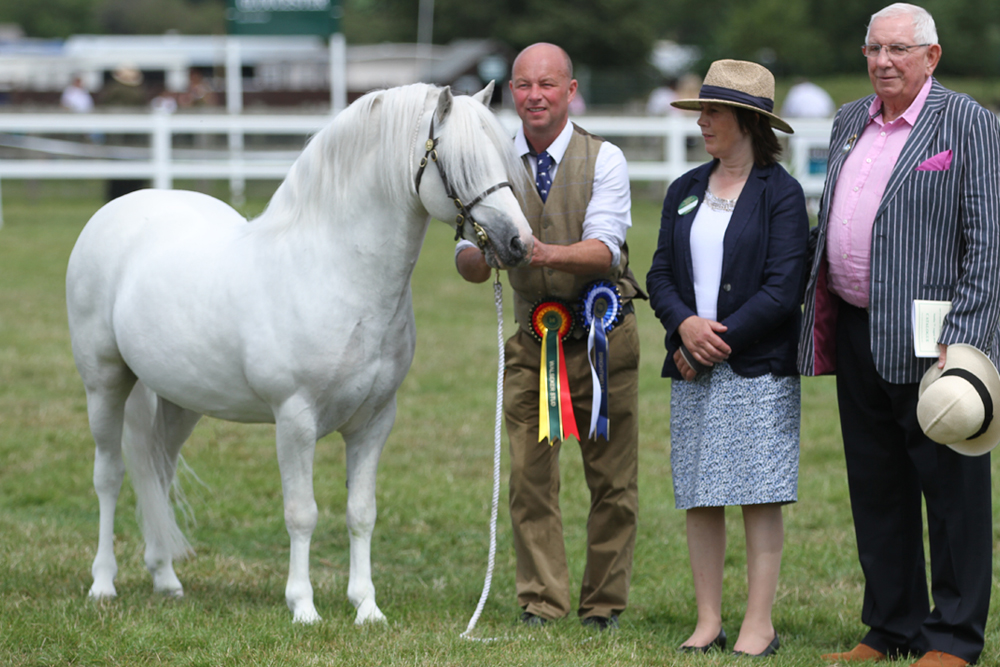 The Penech Stud - Welsh Mountain Ponies. Champion stock of all ages. Pench Whats Wanted - National Champion