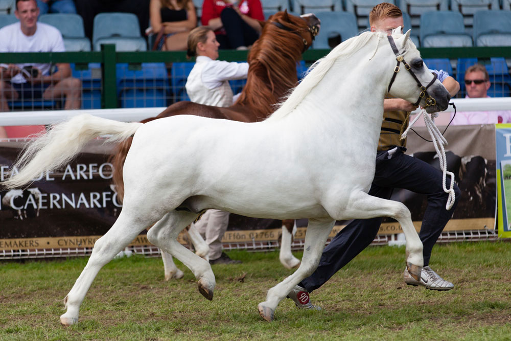 The Penech Stud - Welsh Mountain Ponies. Champion stock of all ages.