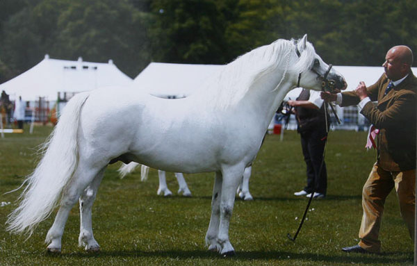 Dukeshill Dotcom has been many times a champion including Male Champion at the Royal Welsh and Cuddy qualifie